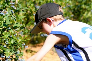big boy blueberry picking