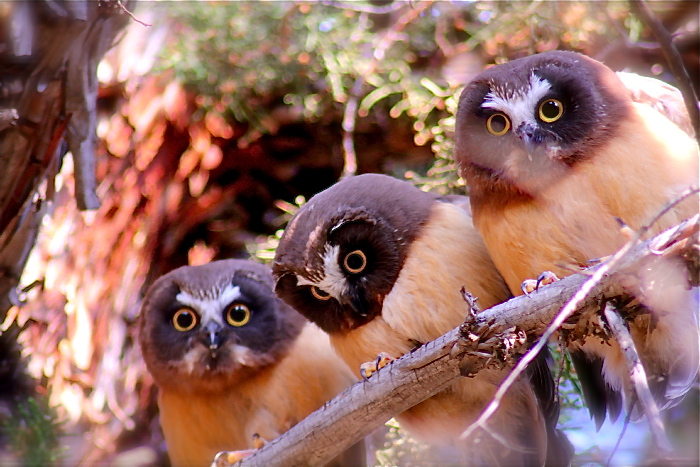 Three young Saw-whet owls