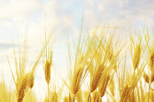 Wheat Field: Global Day of Action to Occupy our Food Supply