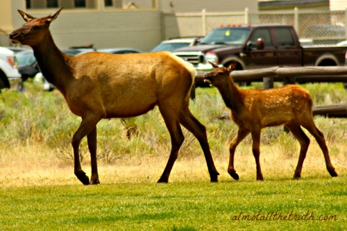 Almost All The Truth - Mama and Baby Elk