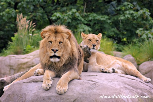 Lions at the Oregon Zoo