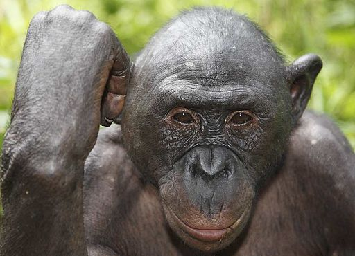 Great Ape - Bonobo