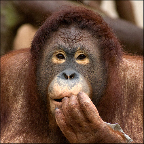 Almost All The Truth - Sumatran Orangutan