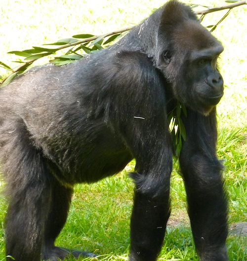 Gorilla in Captivity
